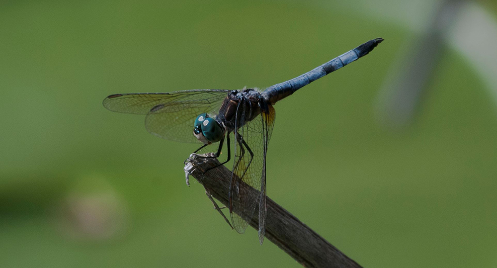 Protected wetland is a haven for bug-eating dragonflies