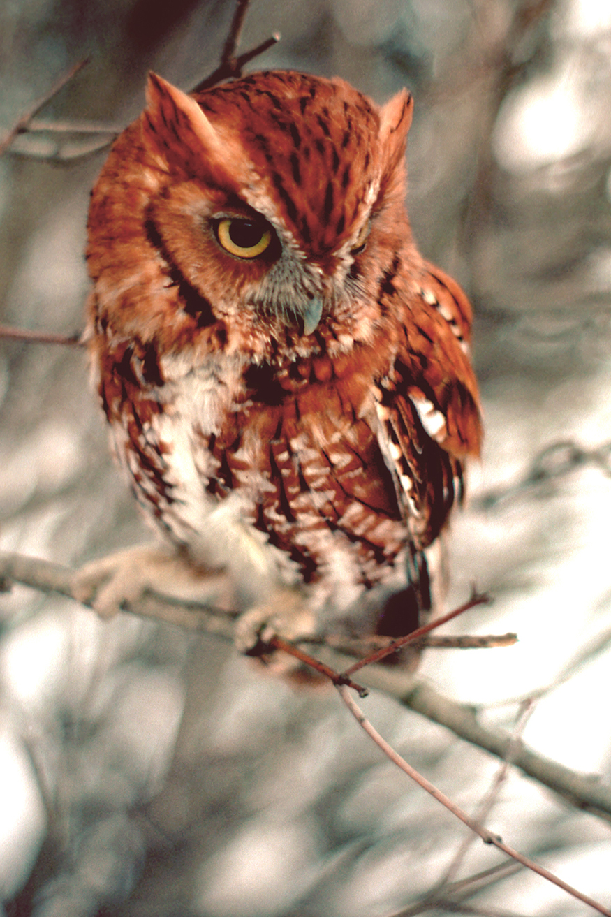 Screech owl - one of nature's wonders