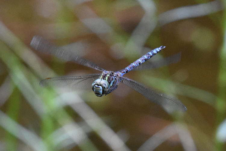 Luckily for us, dragonflies eat mosquitoes