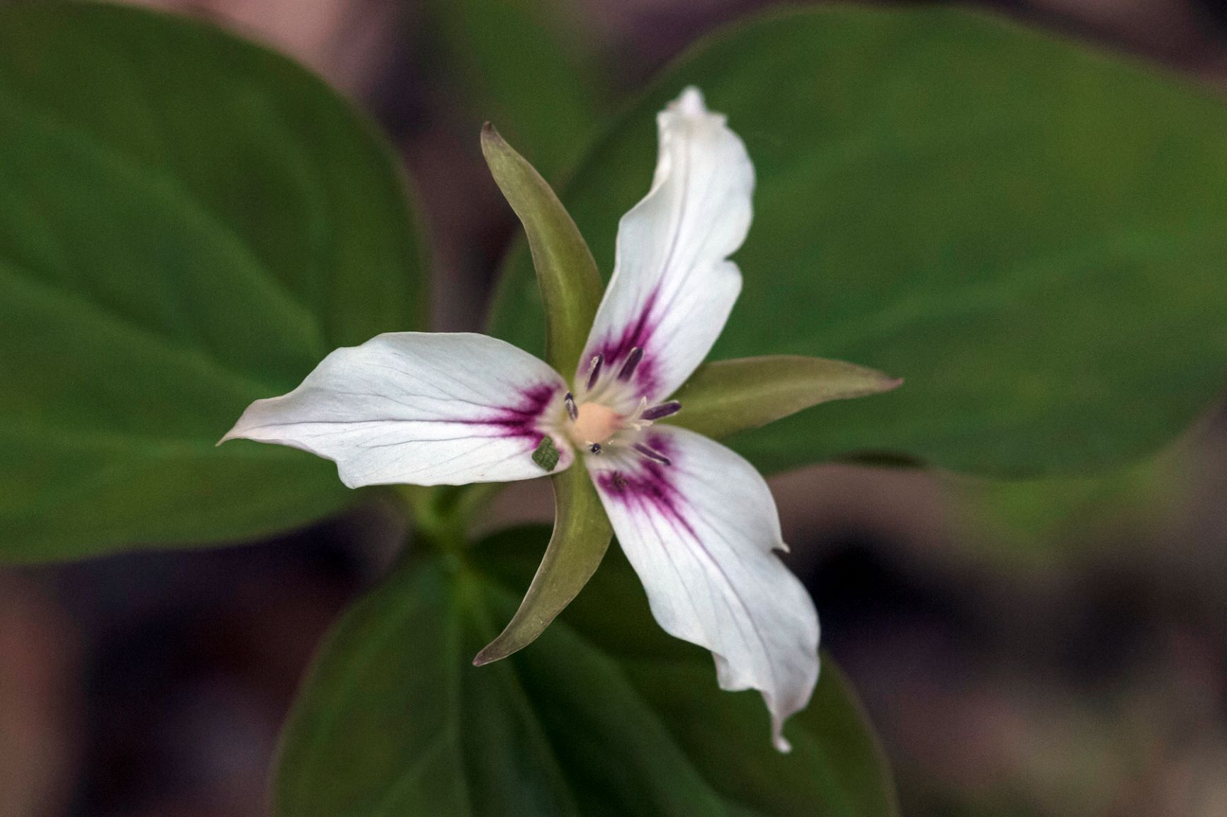The showy trillium is a springtime favourite