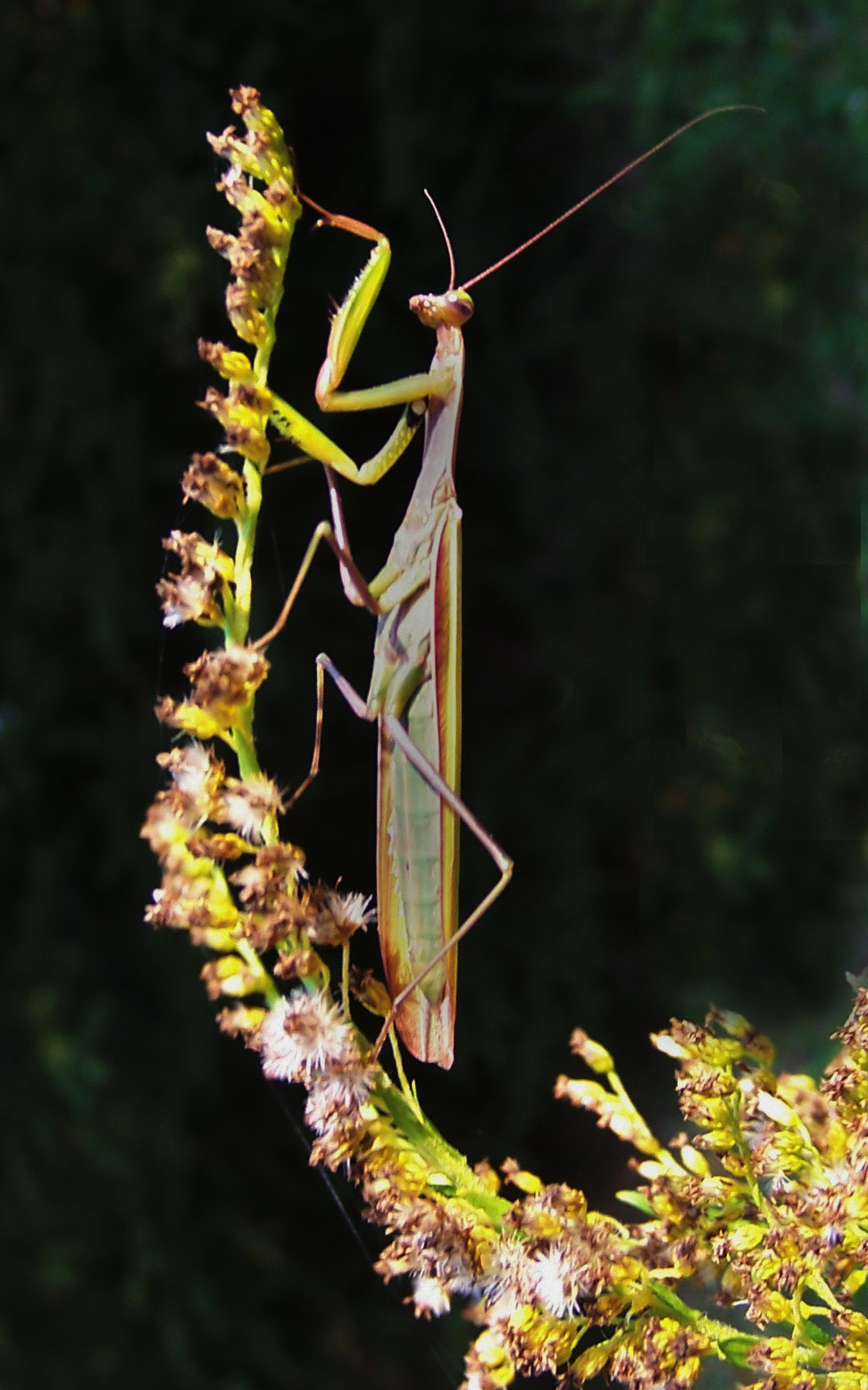 More than one kind of mantis in the meadows