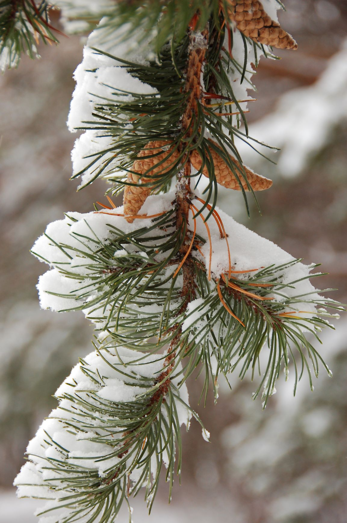 How conifers cope with Winter's cold