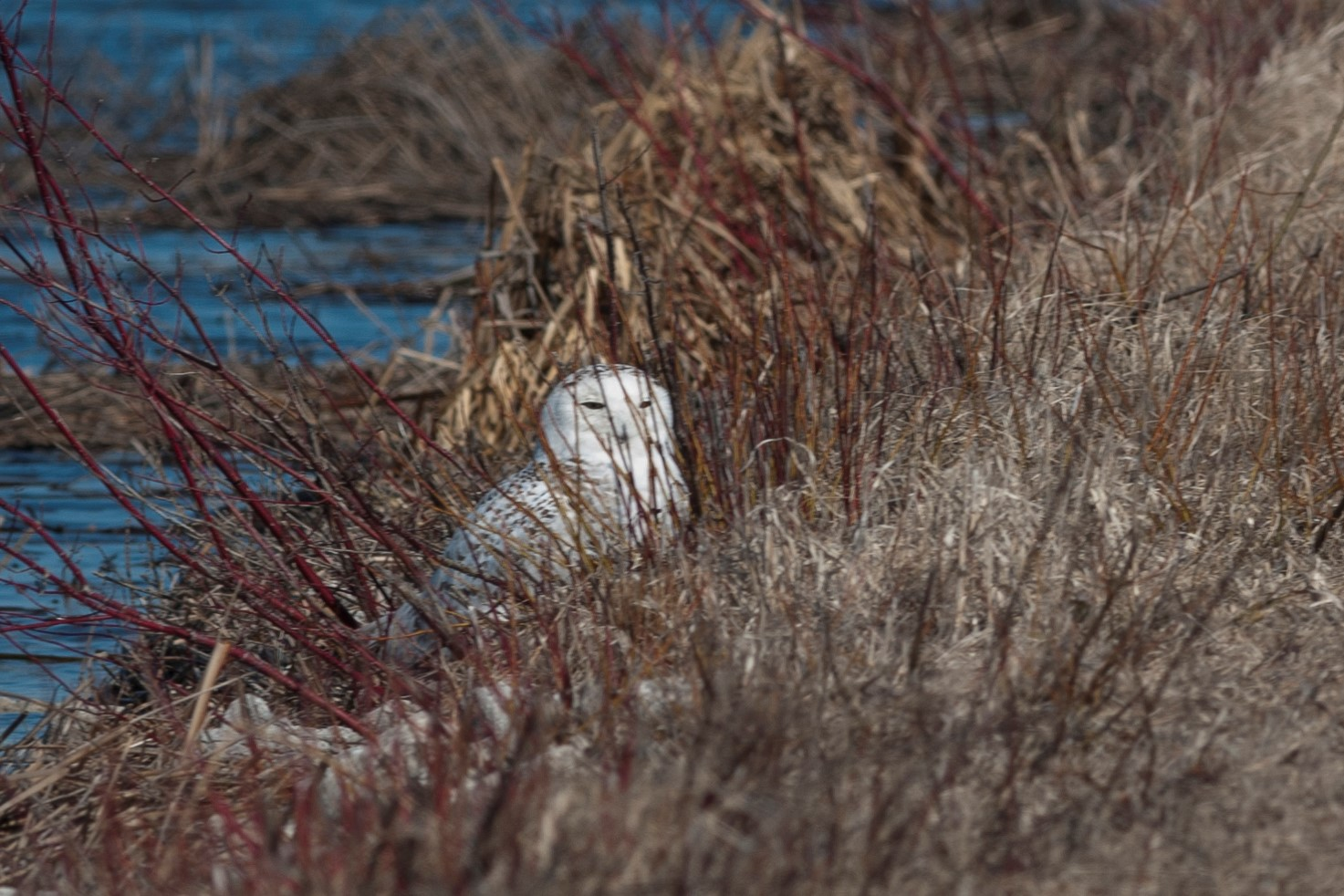 Snowy owls often photographed to death