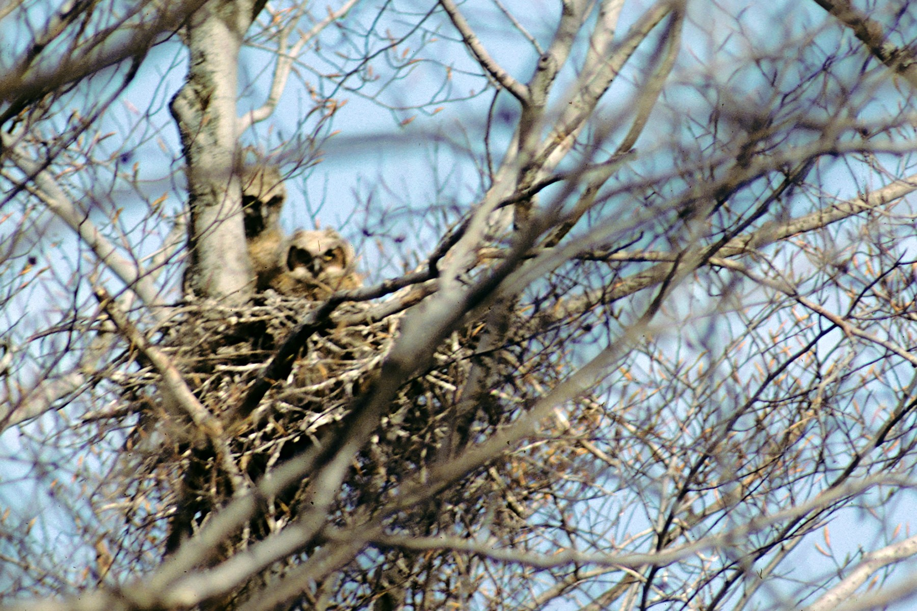 Love is in the air for great horned owls
