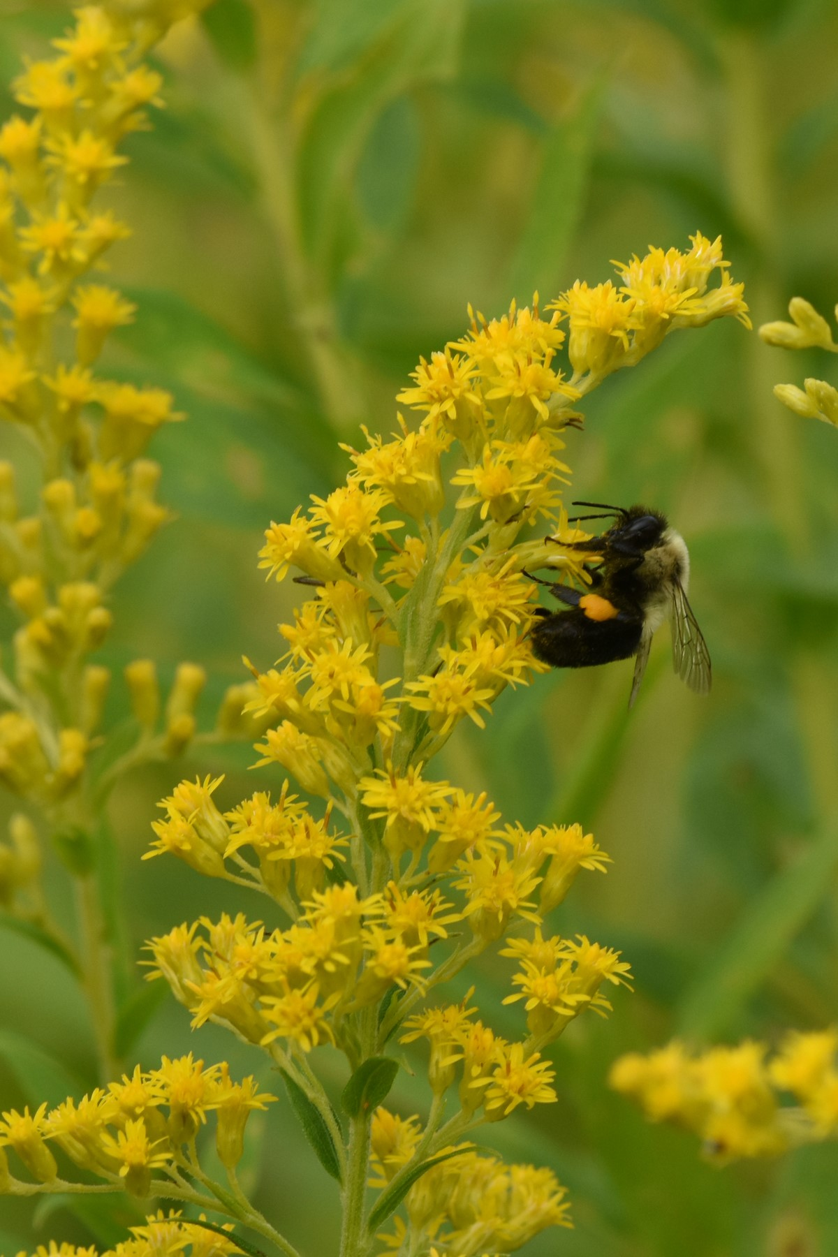 2020 09 12 bee.on.goldenrod