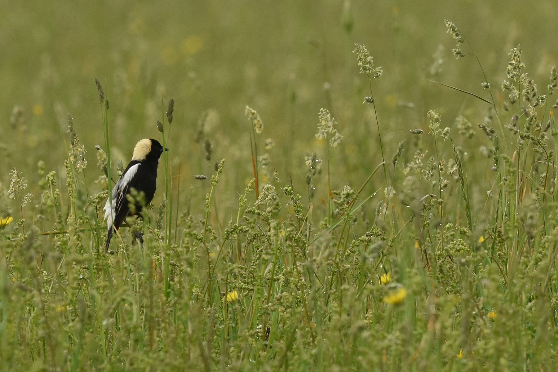 Hay — watch out for that bobolink nest!