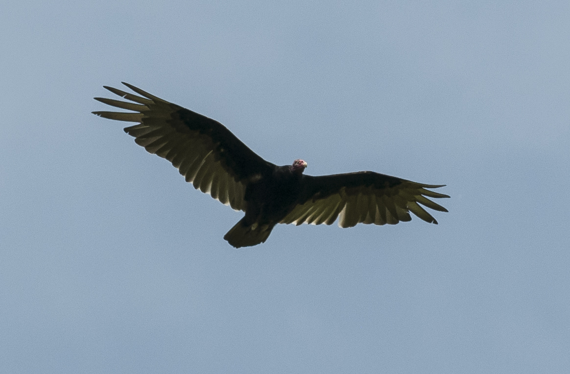 Turkey Vulture - the roadside cleaner