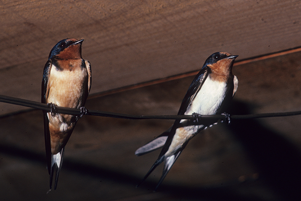Barn swallows need the right conditions to nest