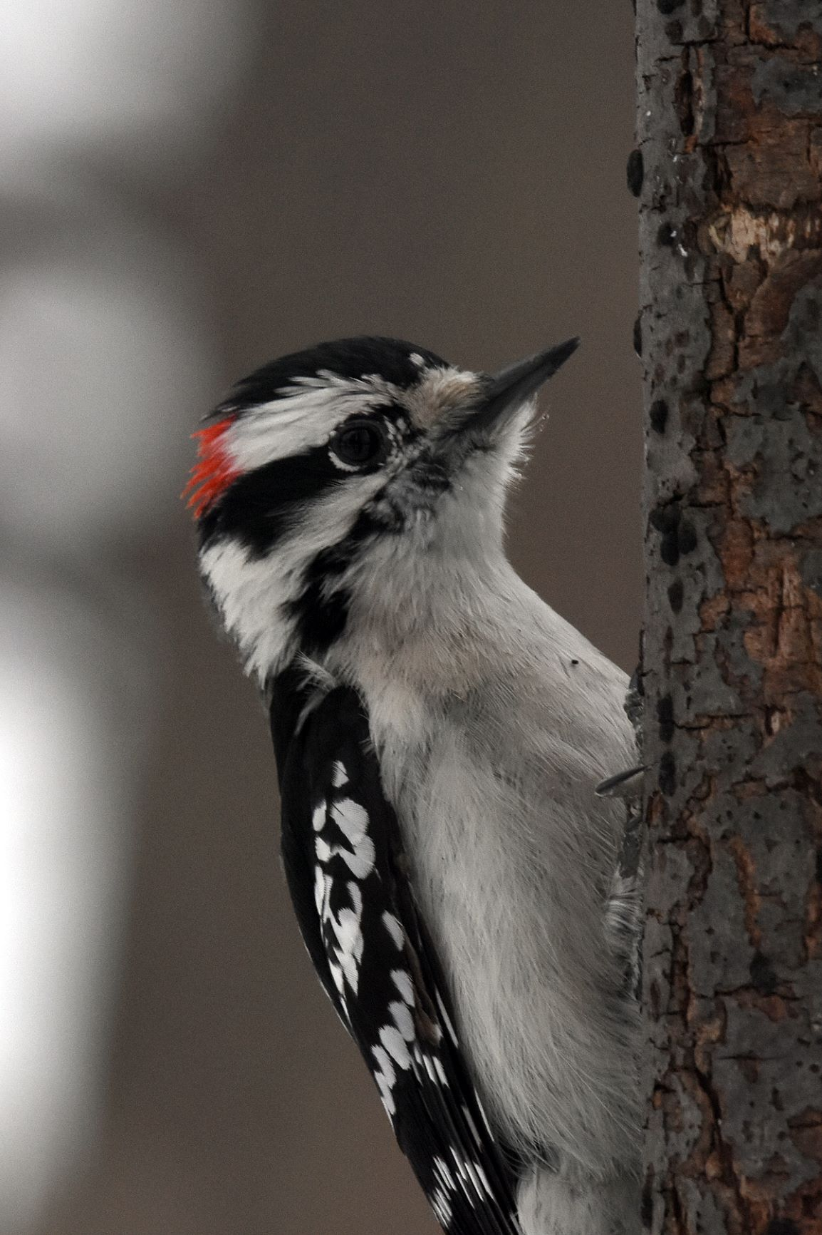 Woodpecker legend - good reading for a winter day