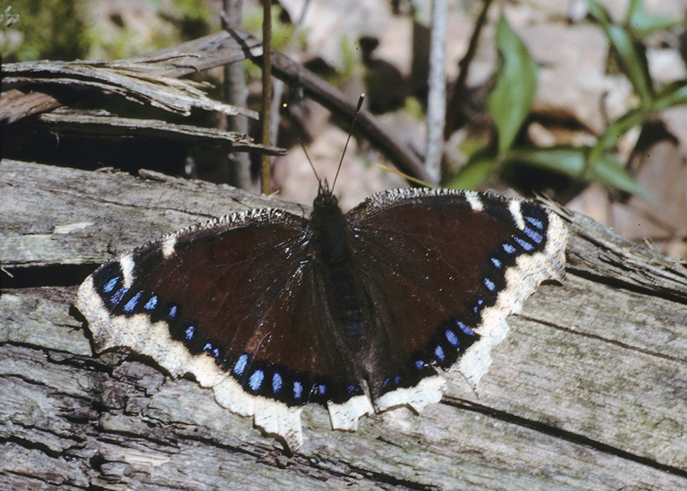 Butterfly war in the woodlot