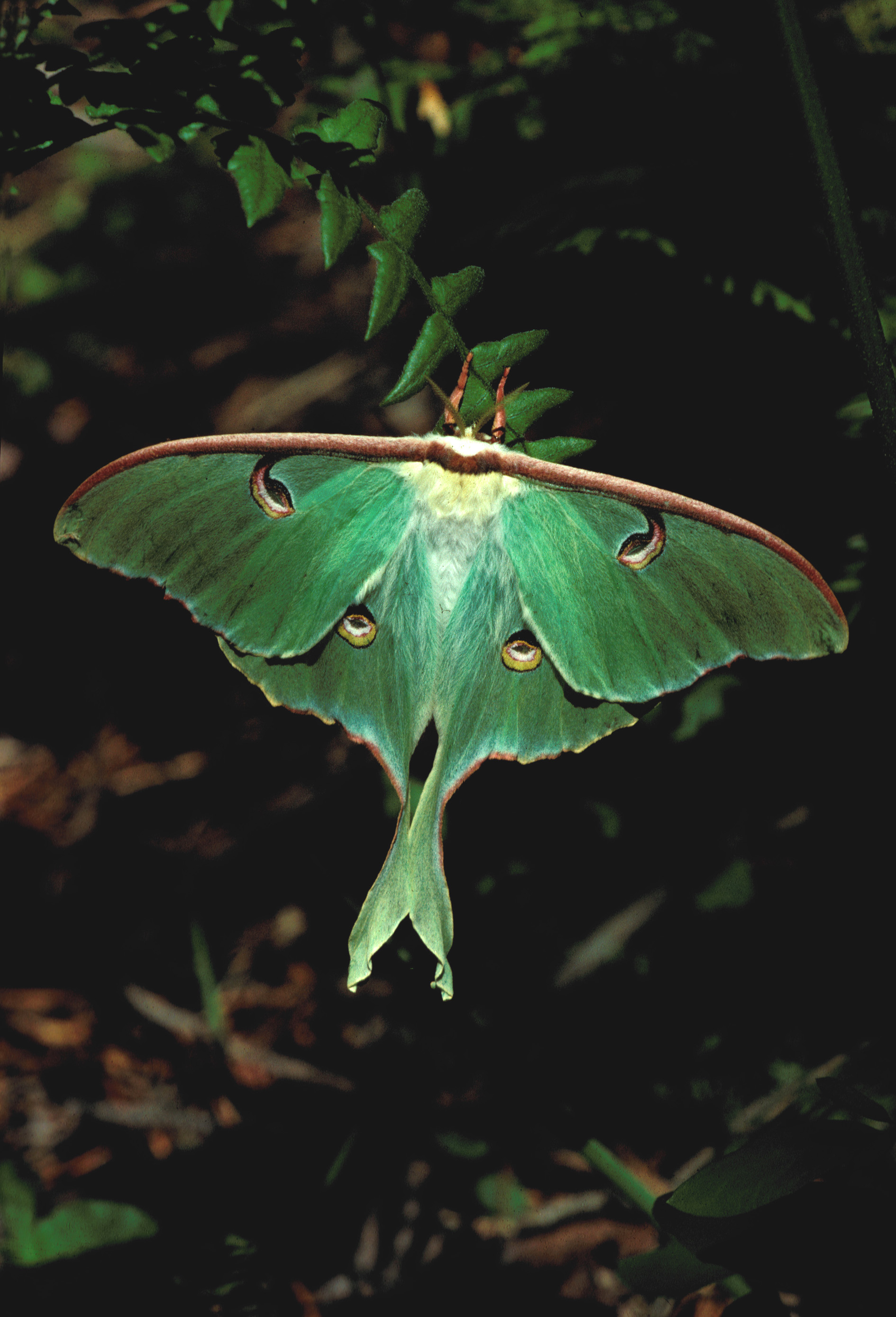 Luna moths are the show-stoppers of the moth world