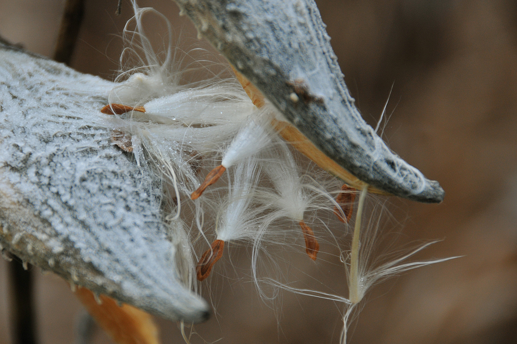 The Dance of the Milkweed Seeds