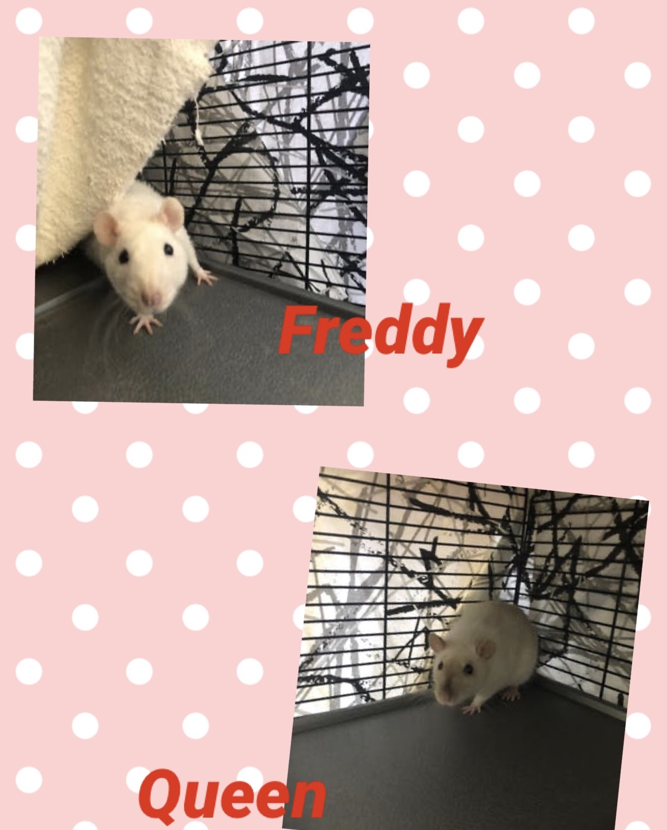 UPDATE: ADOPTED! This female pair needs rat-savvy home together