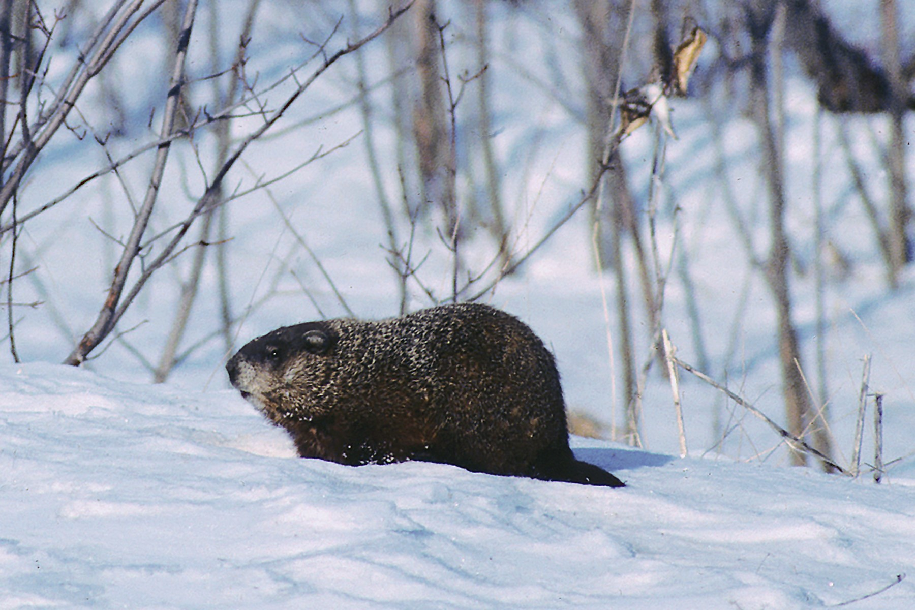Groundhog Day is a silly excuse for a winter celebration