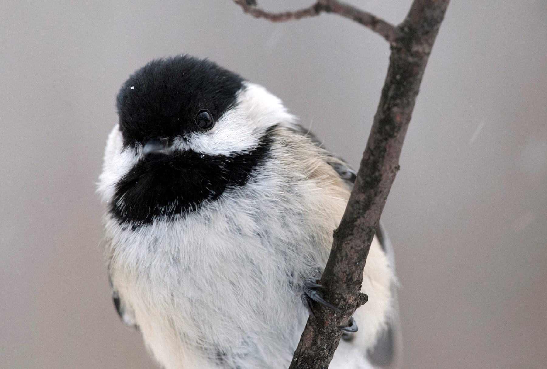 Amazing chickadees adapt as temperature drops
