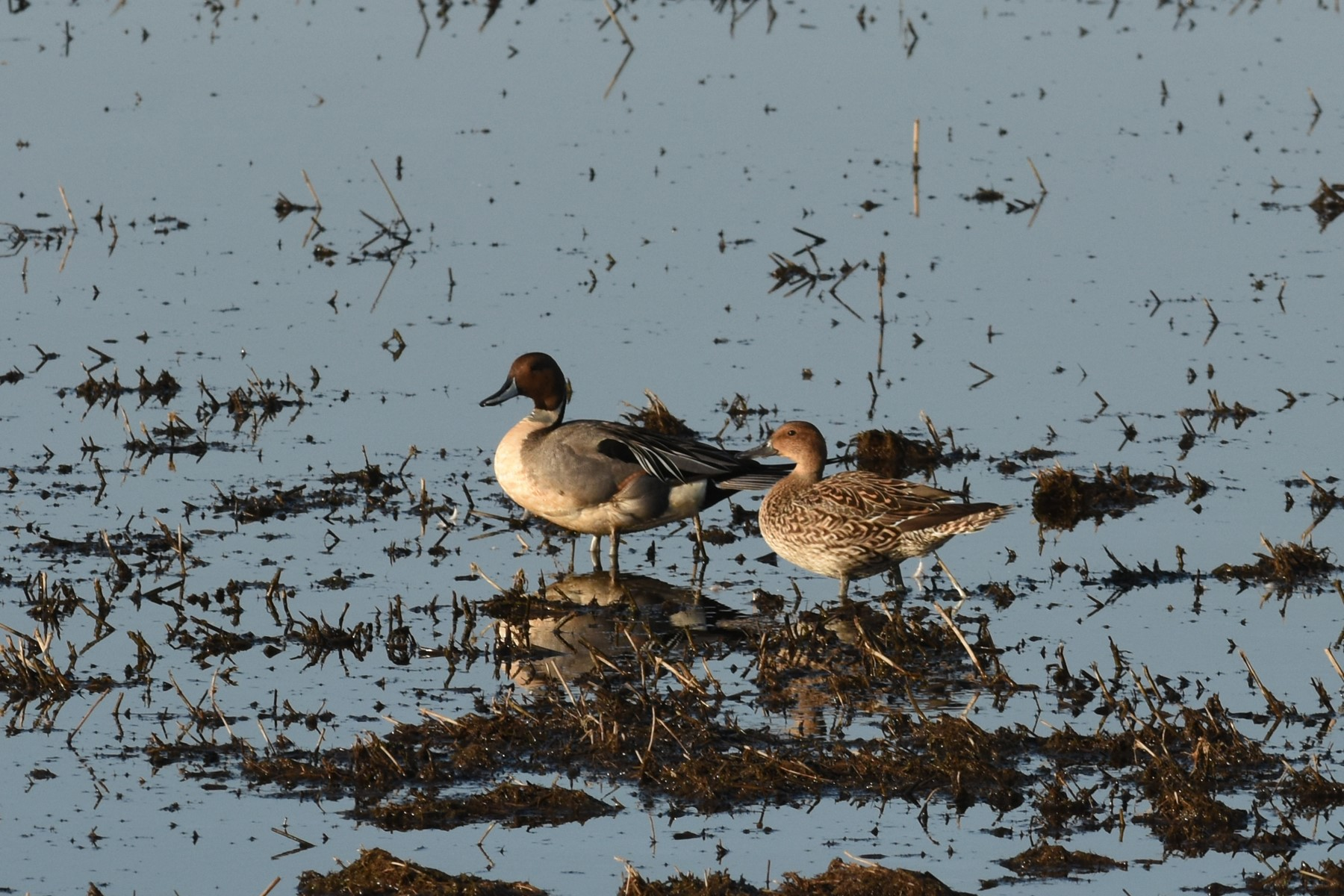 2021 04 18 hawke pintails
