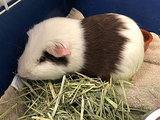 Adorable guinea pigs make great pets!