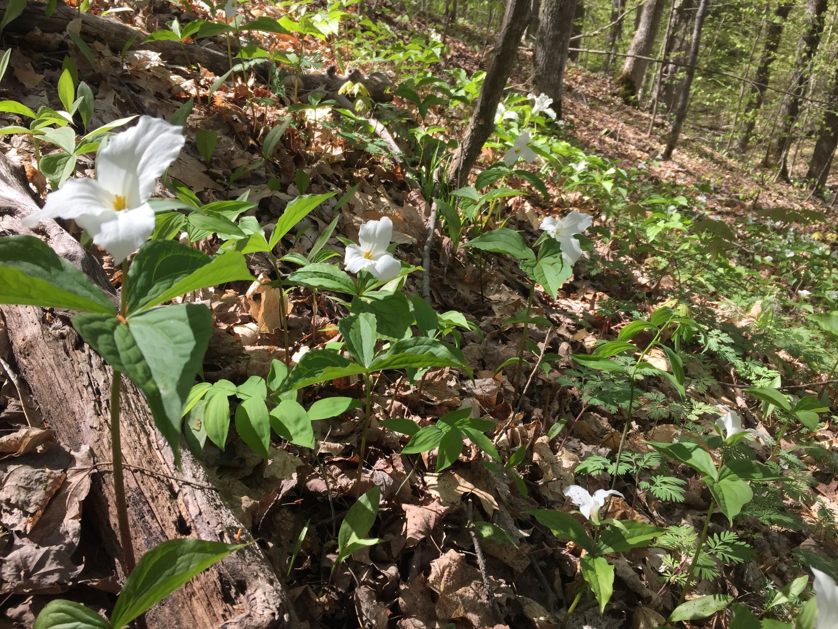 trilliums smaller